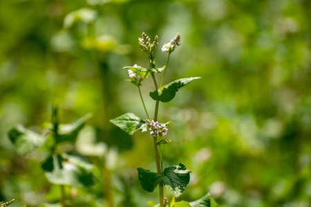 Botanical collection of edible plants and herbs, Buckwheat , Fagopyrum esculentum, or common buckwheat plant in blossom