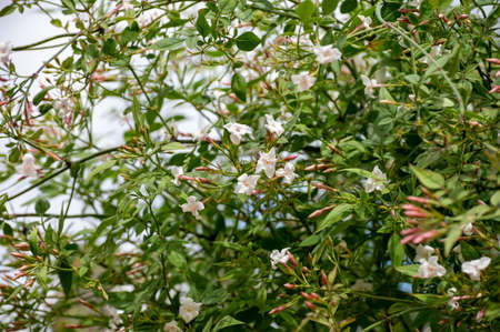 Botanical collection of medicinal and climbing plants, Jasminum officinale, jasmine plant used in aromatherapy and medicine