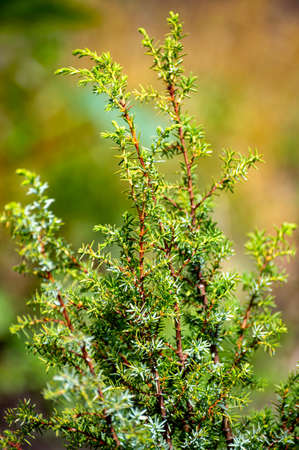 Botanical collection of medicinal plants and herbs, juniperus communis or common juniper conifer shrub in summer
