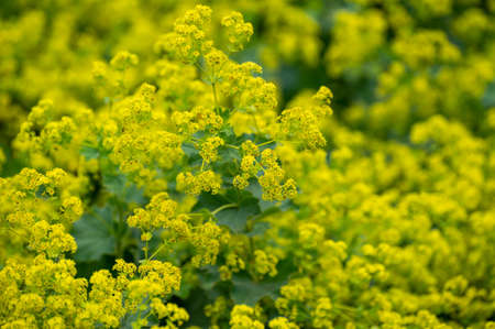Botanical collection of medicinal plants, Alchemilla vulgaris or common lady's mantle plant in blossom Фото со стока