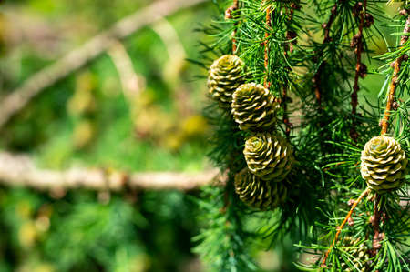 Green cones on larch tree close up