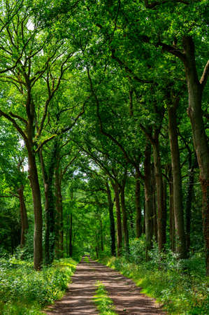 Summer hiking in old oak forest with large green trees