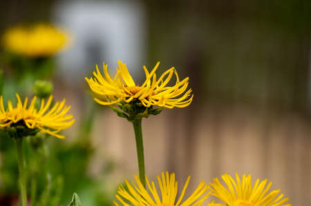 Botanical collection of insect friendly or medicinal plants Elecampane, Inula helenium or horse-heal, elfdock yellow flowers Banco de Imagens
