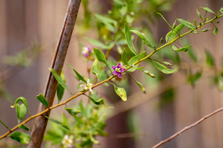 Botanical collection of edible and medicinal plants, goji berry or wolfberry or Lycium chinense plant in blossom Фото со стока
