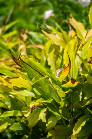 Botanical collection of medicinal or aromatic plants and herbs, Cardamom or cardamon spice plant