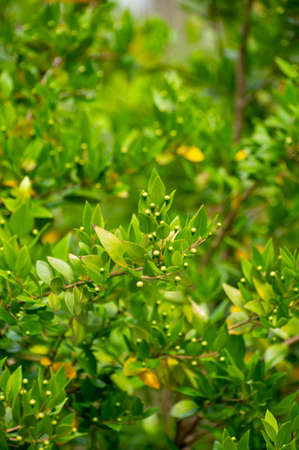Botanical collection of medicinal plants and herbs, Myrtus communis or true myrtle plant used in aromatherapy and medicine Фото со стока