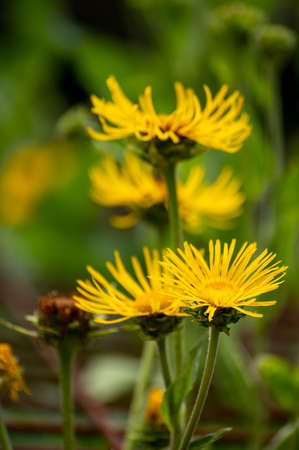 Botanical collection of insect friendly or medicinal plants Elecampane, Inula helenium or horse-heal, elfdock yellow flowers 版權商用圖片