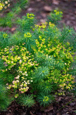 Botanical collection of medicinal and poisonous plants and herbs, Euphorbia cyparissias or cypress spurge in summer