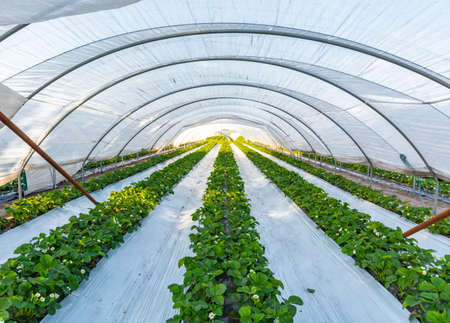 Cultivation of strawberry fruits using the plasticulture method, plants growing on plastic mulch in walk-in greenhouse polyethylene tunnels