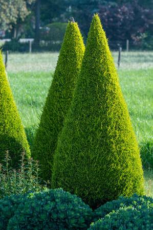Well groomed green conical thuja coniferous trees in garden Zdjęcie Seryjne