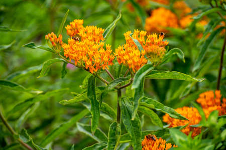 Botanical collection of insect friendly or decorative plants and flowers, Asclepias tuberosa or milkweed, butterfly flower, silkweed, silky swallow-wort, Virginia silkweed plant in blossom