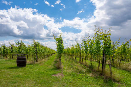 Summertime on Dutch vineyard, young green wine grapes hanging and ripening on grape plants