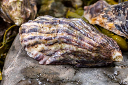 Fresh pacific or japanese oysters molluscs on stone with kelp seaweed background close up Reklamní fotografie