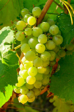 Ripe white grapes growing on vineyards in Campania, South of Italy used for making white wine close up Stock Photo