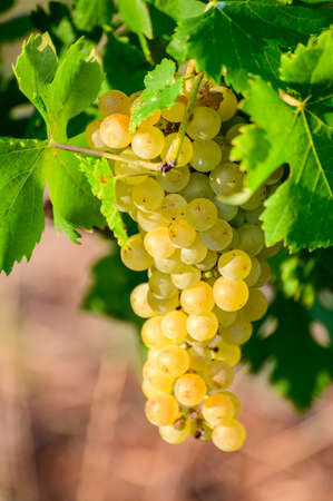 Ripe white grapes growing on vineyards in Campania, South of Italy used for making white wine close up