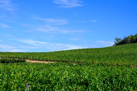 Green vineyards located on hills of Jura French region ready to harvest and making red, white and special jaune wine, late sunmer in France