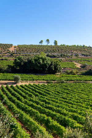 Rows of ripe wine grapes plants on vineyards in Cotes de Provence, region Provence, south of France, ready to harvest, winemaking in France Banco de Imagens