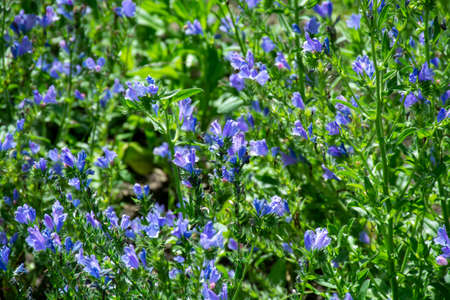Botanical collection of medicinal plants, blue blossom of echium vulgare or bugloss blueweed plant Stock Photo