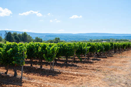 Vineyards of AOC Luberon mountains near Apt with old grapes trunks growing on red clay soil, Vaucluse, Provence, France. wine grape ready to harvest.