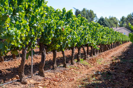 Vineyards of AOC Luberon mountains near Apt with old grapes trunks growing on red clay soil, Vaucluse, Provence, France