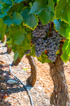 Vineyards of Luberon mountains near Apt with old grapes trunks growing on red clay soil, Vaucluse, Provence, France. wine grape ready to harvest.