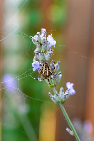 Garden spyder making web on lavender flower close up 写真素材