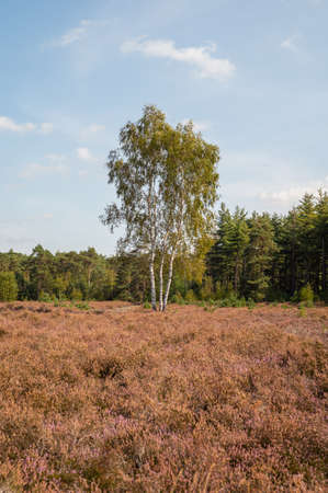 Nature background, green lung of North Brabant, Kempen forest in September, the Netherlands