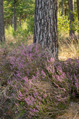Nature background, green lung of North Brabant, pink blossom of heather plants in Kempen forest in September, the Netherlands