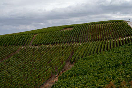 Landscape with green grand cru vineyards near Epernay, region Champagne, France in autumn rainy day. Cultivation of white chardonnay wine grape on chalky soils of Cote des Blancs.