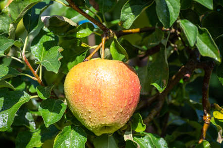 Large sweet braeburn apples ripening on tree in fruit orchard close up