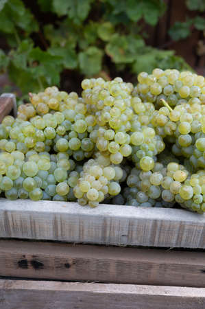 New harvest of white sweet chardonnay grapes on grand cru vineyards near Epernay, region Champagne, France close up