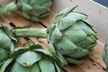 Fresh giant ripe green artichokes from Brittany on market in France Imagens