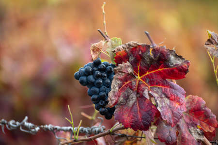 Colorful leaves and ripe black grapes on terraced vineyards of Douro river valley near Pinhao in autumn, Portugal, close up