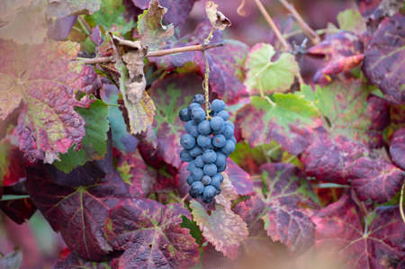 Colorful leaves and ripe black grapes on terraced vineyards of Douro river valley near Pinhao in autumn, Portugal, close up Banque d'images