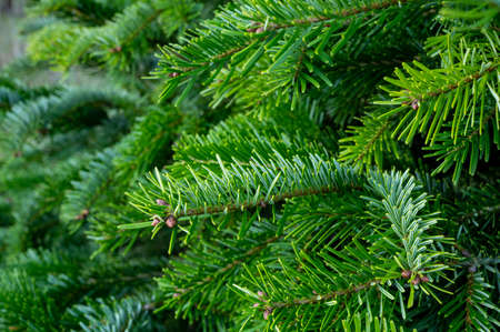 Plantation of evergreen nordmann firs, christmas tree growing ourdoor close uo