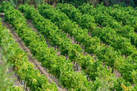 Rows of ripe wine grapes plants on vineyards in Cotes de Provence near Collobrieres, region Provence, south of France, wine making in France Archivio Fotografico