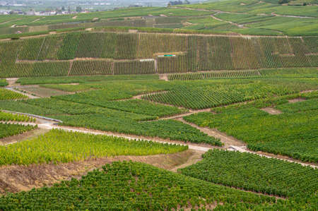 Landscape with green grand cru vineyards near Epernay, region Champagne, France in autumn rainy day. Cultivation of white chardonnay wine grape on chalky soils of Cote des Blancs. Banque d'images