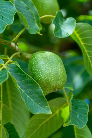 Walnut tree with big unripe nuts in green shell close up