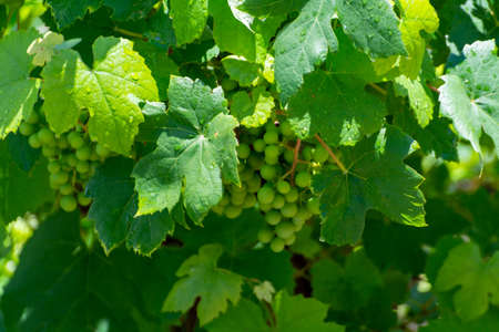Summertime on vineyard, young green wine grapes hanging and ripening on grape plants
