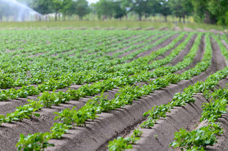 Young potato plants growing in rows on farm field in springtime
