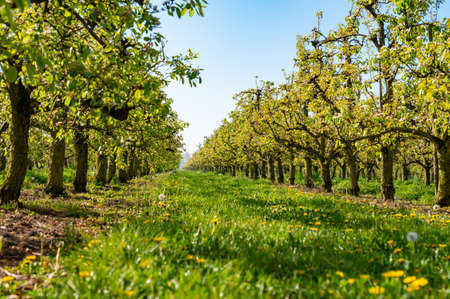 Rows with old plum or pear fruit trees with white blossom in springtime in farm orchards, Betuwe, Netherlands
