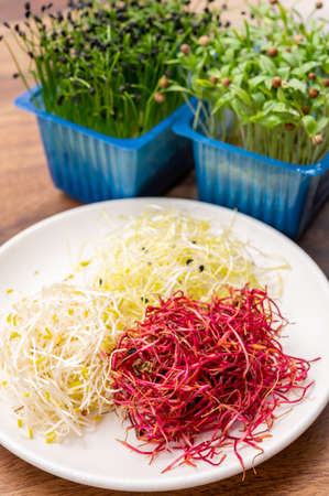Healthy food, young sprouts plants or chives onion, coriander, red beet, alfalfa, seemed ready for consumption