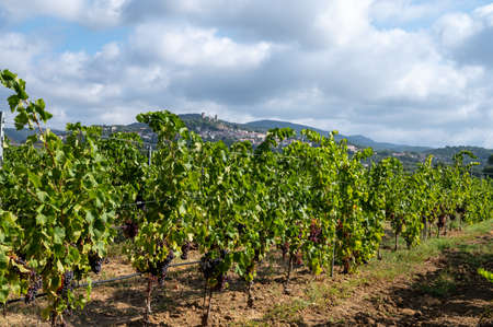 Rows of ripe wine grapes plants on vineyards in Cotes de Provence near Grimaud, region Provence, south of France, rose wine making in France
