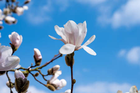 Spring blossom of white magnolia tree in sunny day with blue sky, seasonal flowers Stockfoto