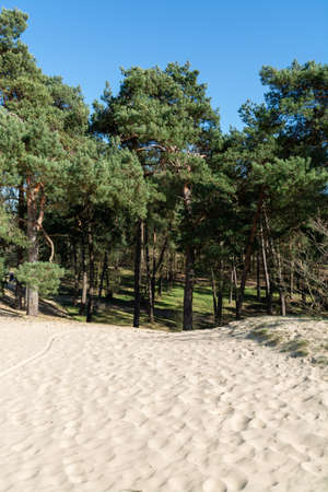 Walking trails in Dutch national park Loonse en Drunense duinen with yellow sandy dunes, pine tree forest and dried old desert plants, nature background