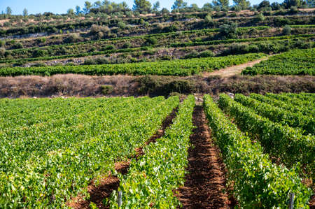 Rows of ripe wine grapes plants on vineyards in Cotes de Provence, region Provence, south of France, ready to harvest, winemaking in France