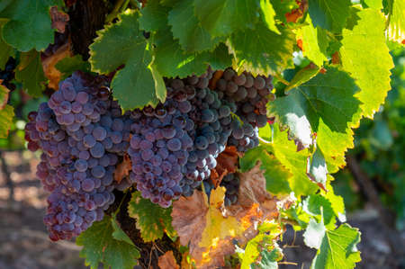 Ripe black or blue syrah wine grapes using for making rose or red wine ready to harvest on vineyards in Cotes de Provence, region Provence, south of France close up