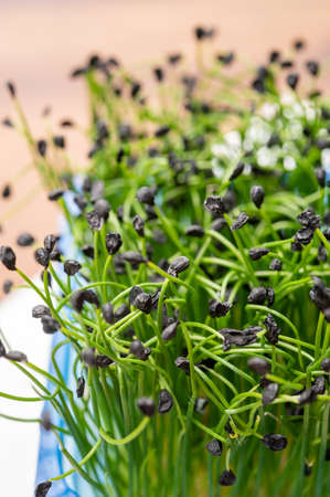 Healthy food, young sprouts plants of green chives onion ready for consumption Foto de archivo