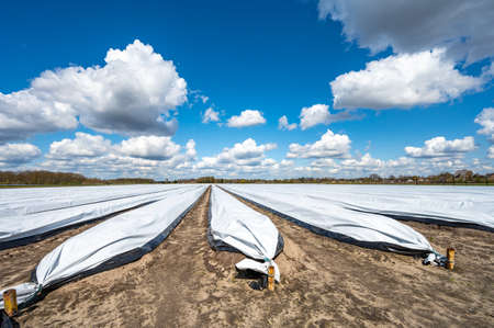 Agriculture in Netherlands, white asparagus fields covered with plastic film in spring, landscape photo Stock fotó