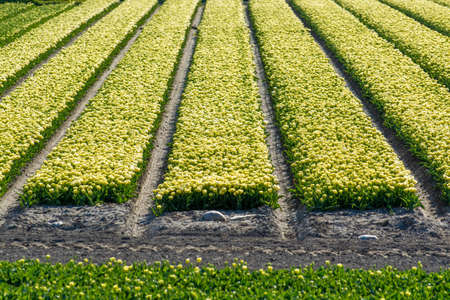 Tulips bulbs production in Netherlands, colorful spring fields with blossoming tulip flowers in Zeeland